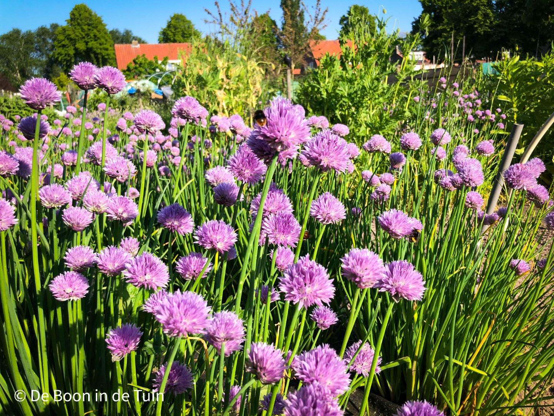 bieslook moestuin update juni volkstuin bloei bijen