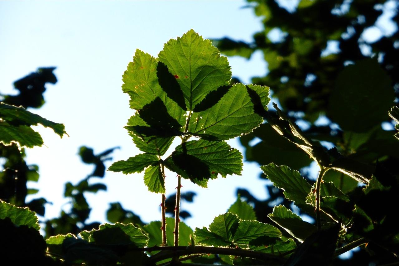 blackberry leaves, blackberry leaf