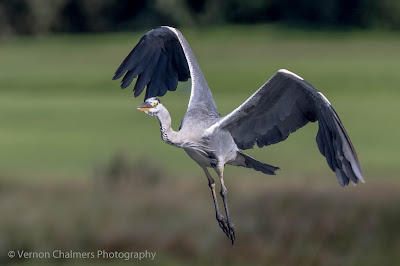 Grey heron in flight - Table Bay Nature Reserve - Woodbridge Island - Copyright Vernon Chalmers