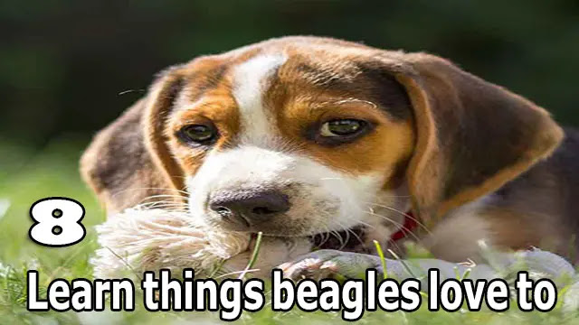 Learn 8 things beagles love to do