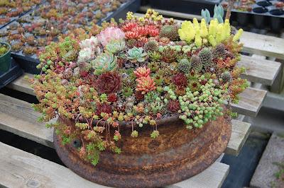 SUCULENTAS :Tudo que você queria saber sobre essa planta