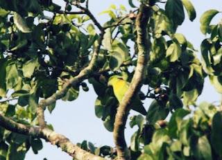 Jenis Burung Lovebird yang Bagus Dari Seluruh Dunia