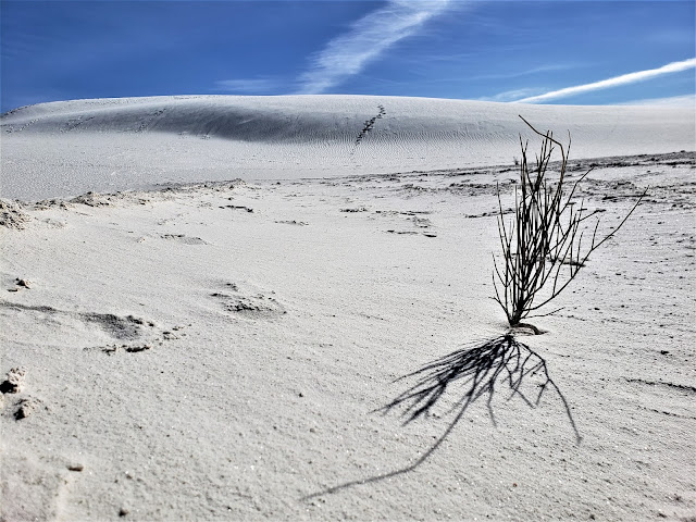 plant white sands national park new mexico