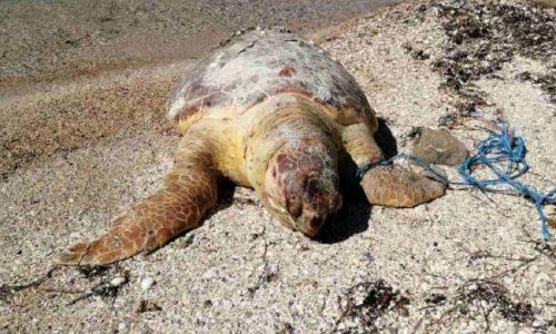 Ζευγάρι επισκεπτών εντόπισε νεκρή σε παραλιακό σημείο της Κορωνησίας την χελώνα Καρέτα- Καρέτα.