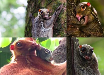 Malezya Uçar Makisi Hayvanı Hakkında Bilgi