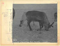 A photograph of a reindeer digging in the snow to reach food beneath its surface