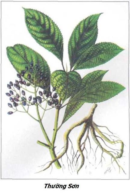 Hình ảnh Thường Sơn - Dichroa febrifuga - Nguyên liệu làm thuốc Chữa Cảm Sốt