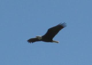 Bald eagle in flight near Santa Margarita, California