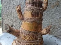 Jual Bambu Unik Purworejo