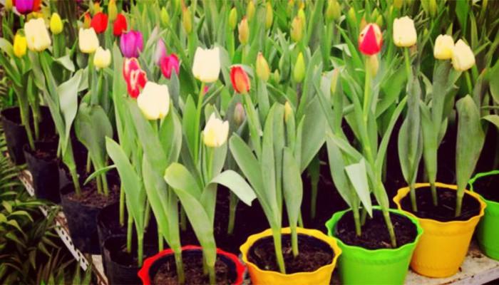 Tulipanes cuidados en macetas