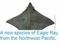 http://sciencythoughts.blogspot.co.uk/2014/01/a-new-species-of-eagle-ray-from.html