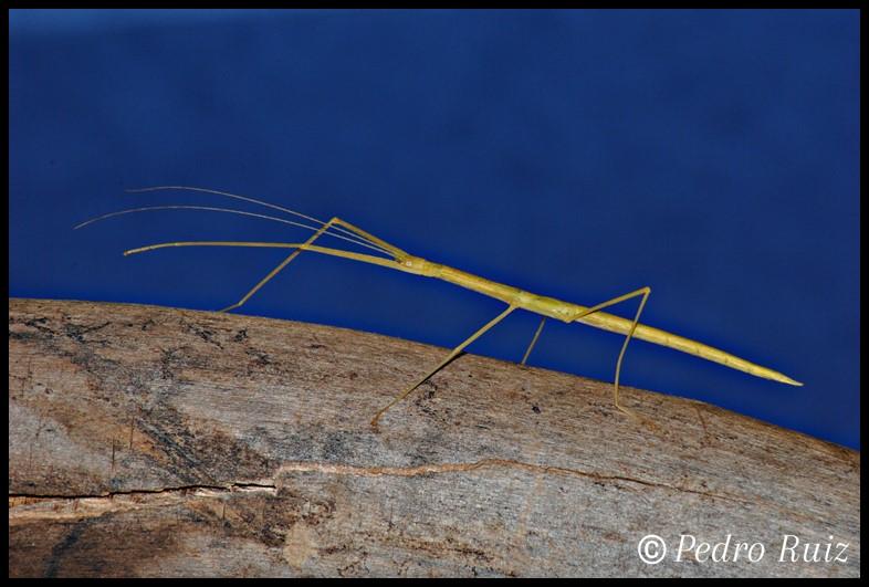 Ninfa L4 de Sipyloidea sipylus, 5,6 cm de longitud
