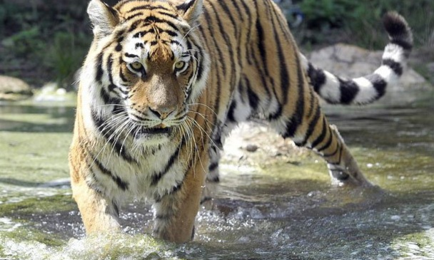 A Siberian tiger has attacked and killed a female caretaker at a zoo in Switzerland.