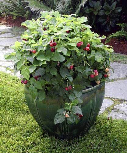 Pruning Raspberry Shortcake Dwarf Raspberry