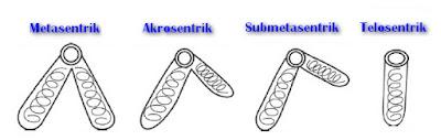 Klasifikasi Kromosom Berdasarkan Bagian Dan Macamnya