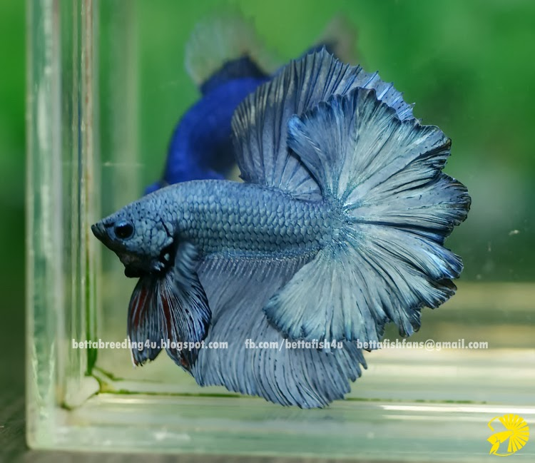 Steel Blue halfmoon rosetail betta fish
