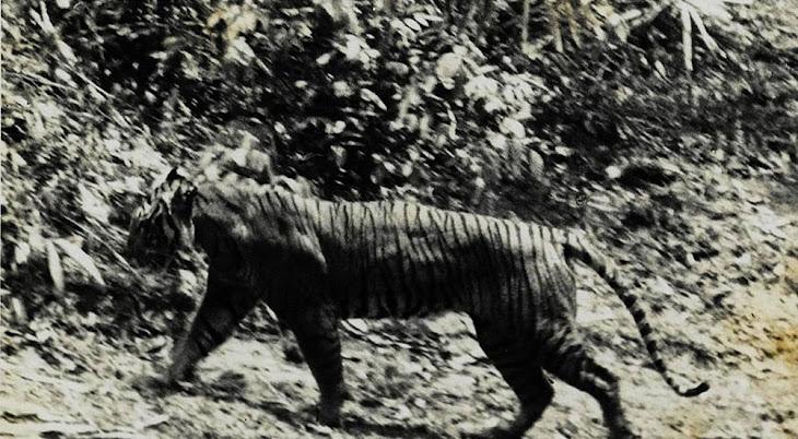 harimau jawa di ujung kulon