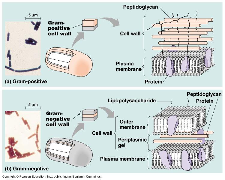 علم الأحياء البكتريا Bacteria خصائص البكتريا 1 كائنات حية وحيدة الخلية واسعة الانتشار توجد في التربة و الماء و الهواء و على الجلد و في الفم و القناة الهضمية للإنسان و