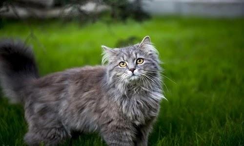 سعر قطط الماين كون
