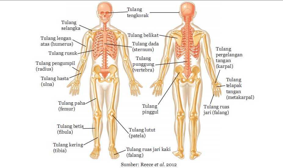 Fungsi Tulang Paha Beserta Bagian-Bagian dan Penjelasannya