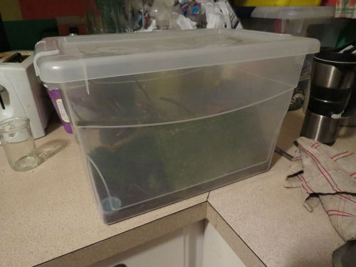 tree frog lodging in a plastic tub
