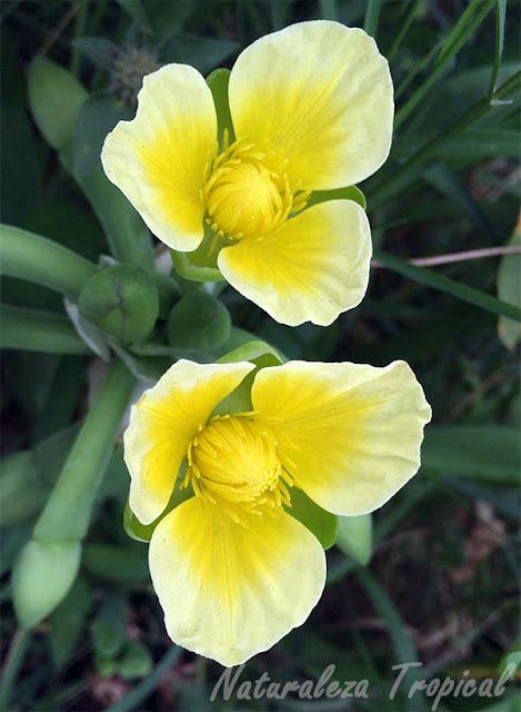 Flores de una planta acuática