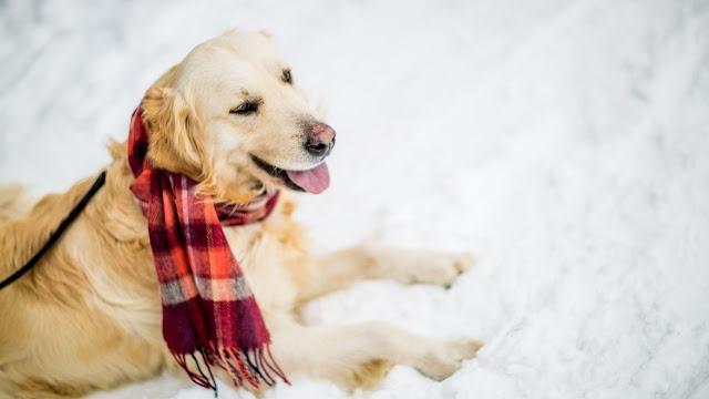 Do Golden Retrievers Get Cold at Night?