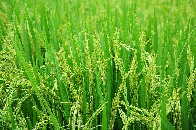 tanaman padi sawah
