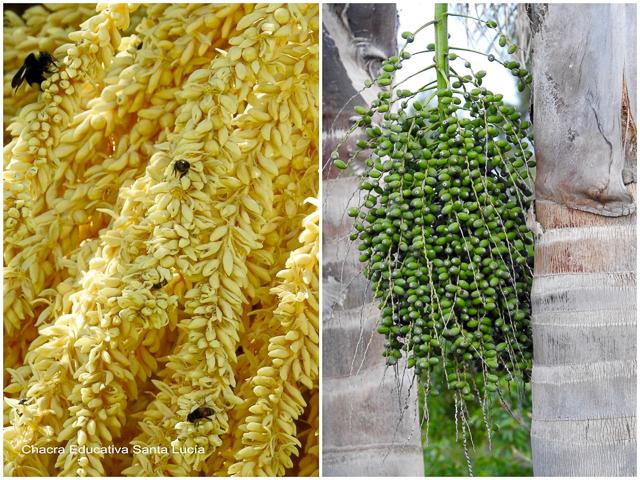 Flores y frutos aún verdes de pindó - Chacra Educativa Santa Lucía