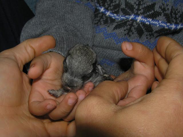 newborn baby bunny american chinchilla