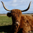 Tour Scotland Photograph Highland Cow March 2nd