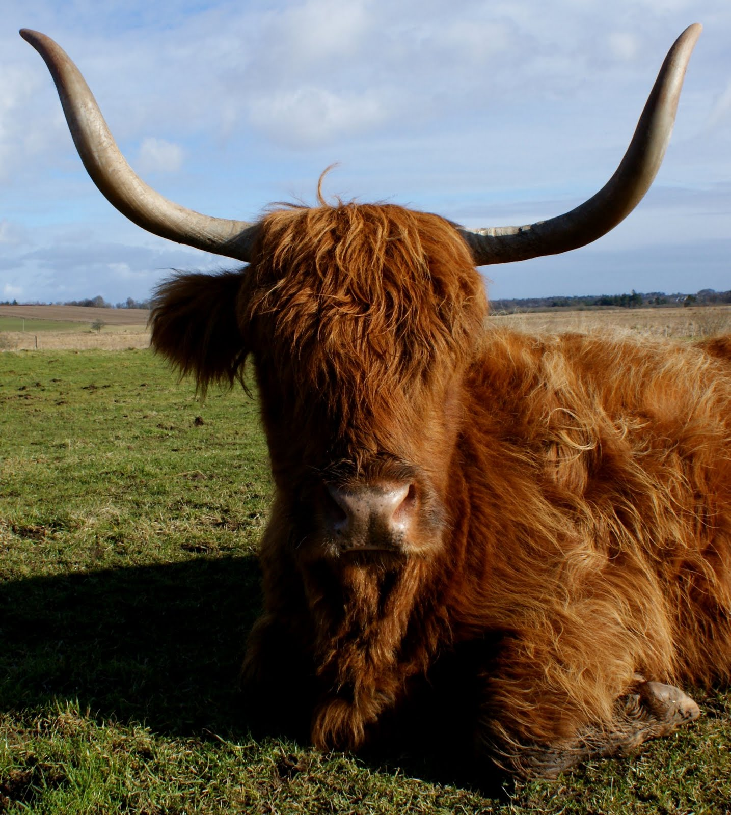 Tour Scotland: Tour Scotland June Photograph Highland Cow