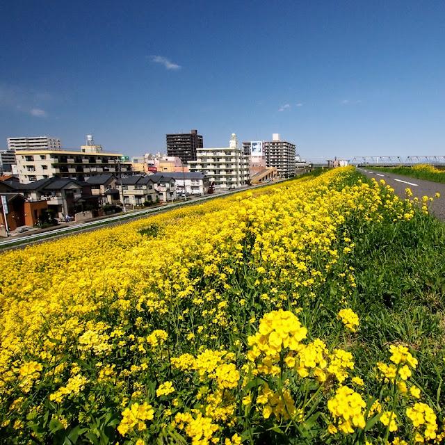 江戸川 三郷 菜の花