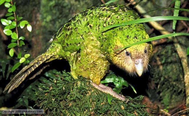 Suara burung kakapao