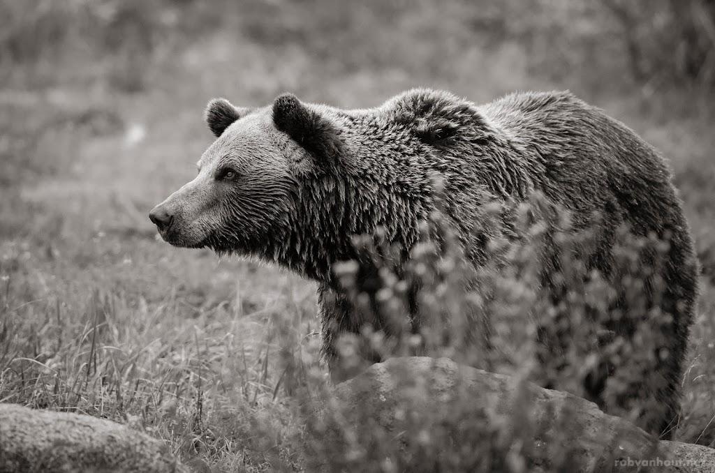 <b>Brown Bear</b> Bärenwald Müritz