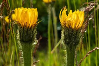 [Asteraceae] Hypochaeris uniflora – (Costolina alpina)