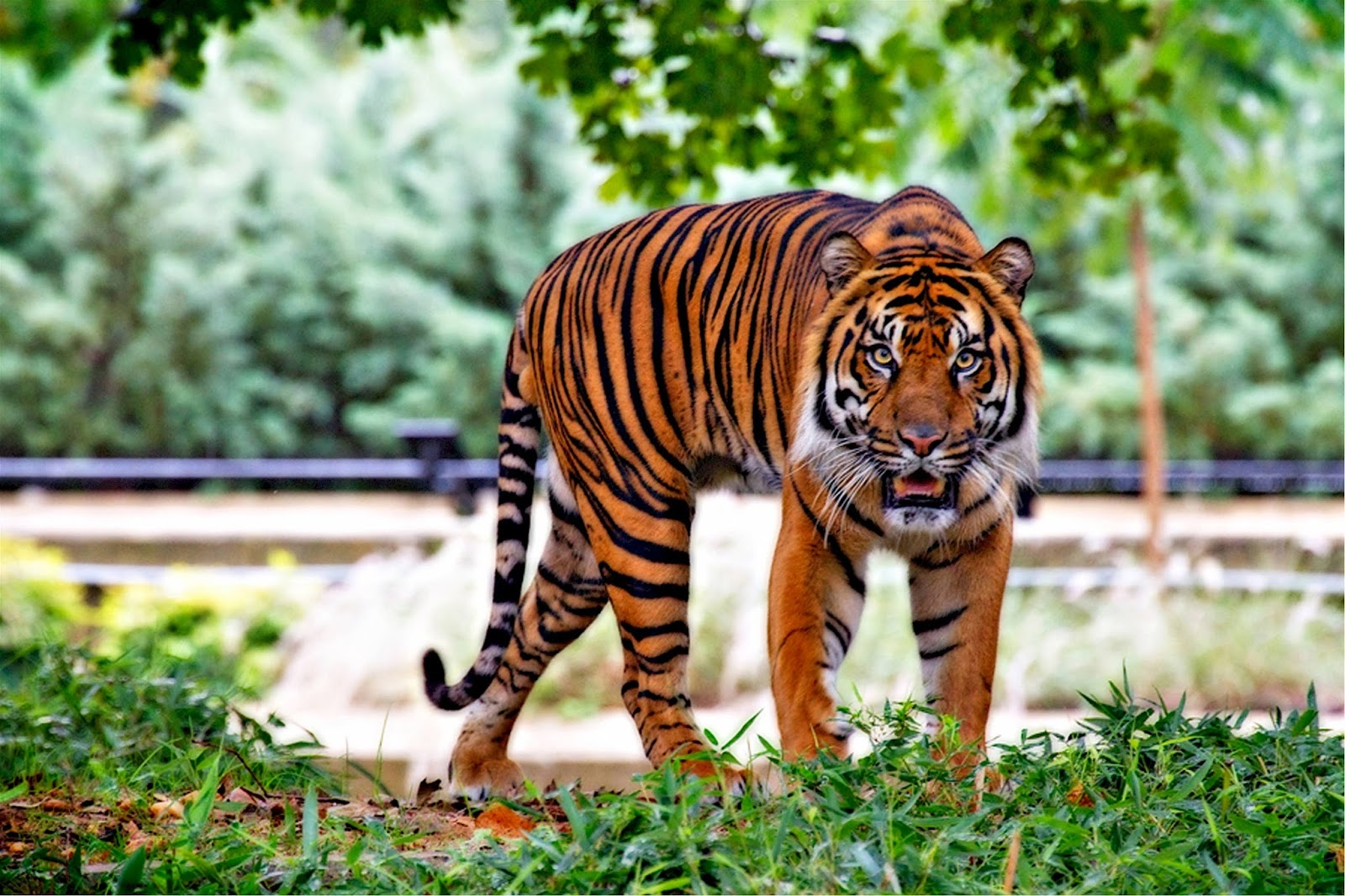 Picture of a Sumatran tiger.