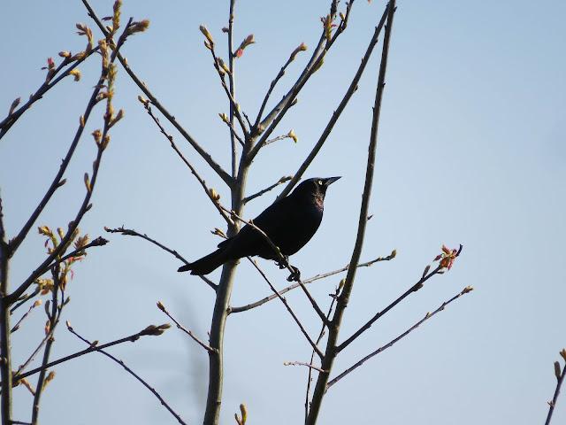Brewer's Blackbird - Grayling, Michigan, USA