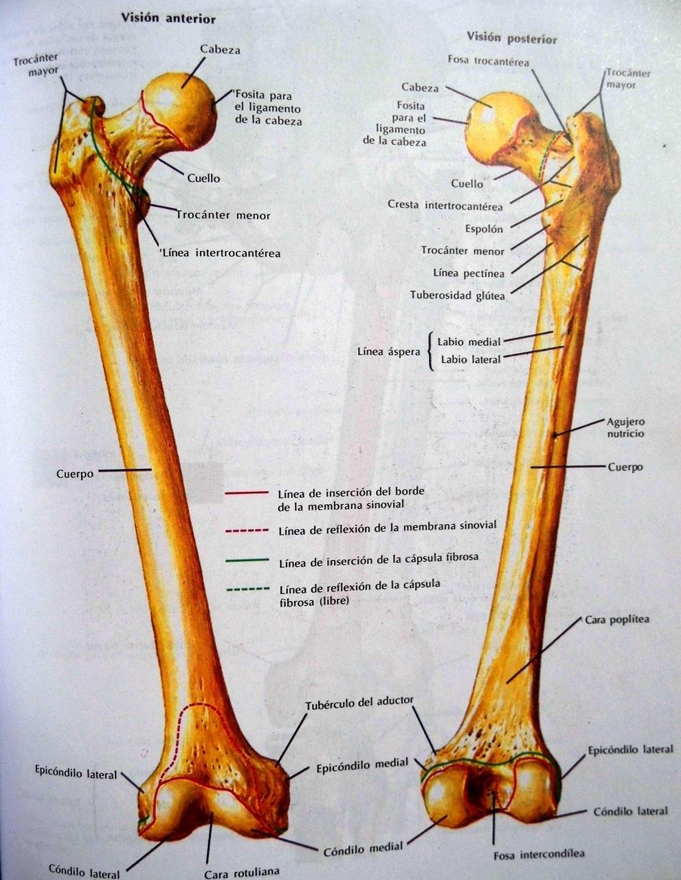Cuál es el hueso más largo del cuerpo humano? - POR QUÉ, CÓMO Y DÓNDE