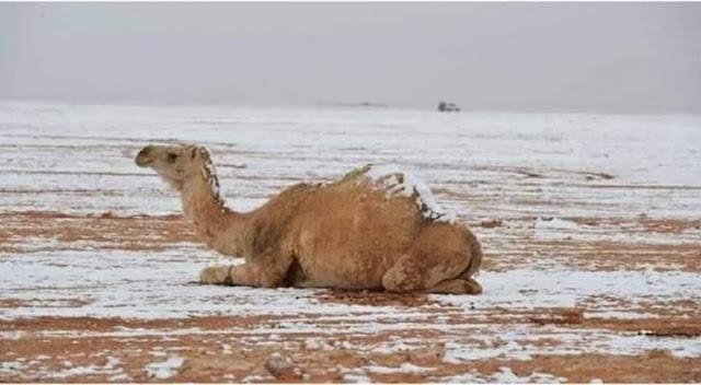 لأول مرة الثلوج تغطى ظهر الجمال فى السعودية