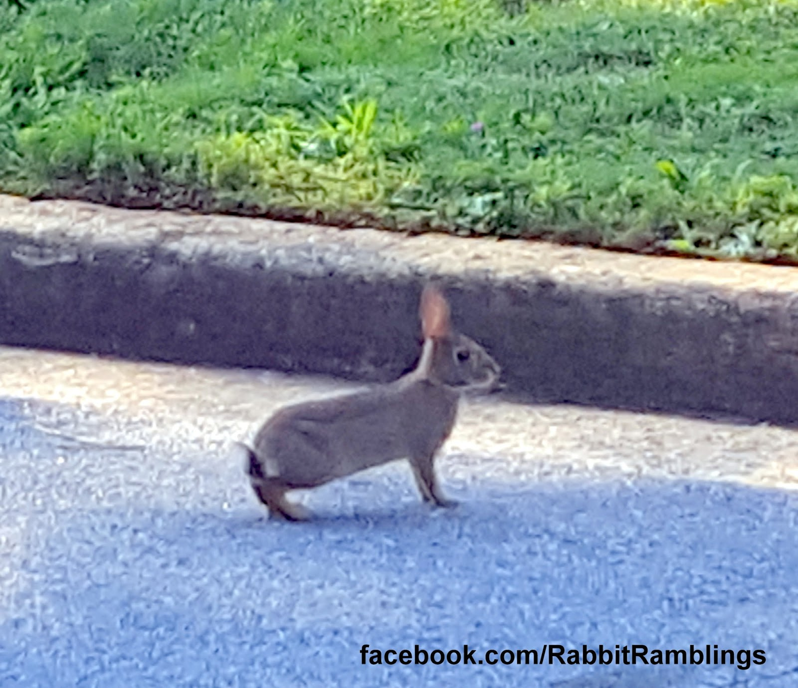 Spotted The Bunny In A Neighbor's Lawn Got Too Close And It Bolted Across  The Street To Our Lawn