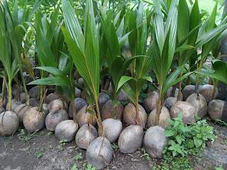 budidaya tanaman kelapa pandan wangi jogja