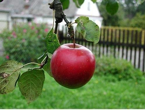 Harga Satu Gigitan Apel