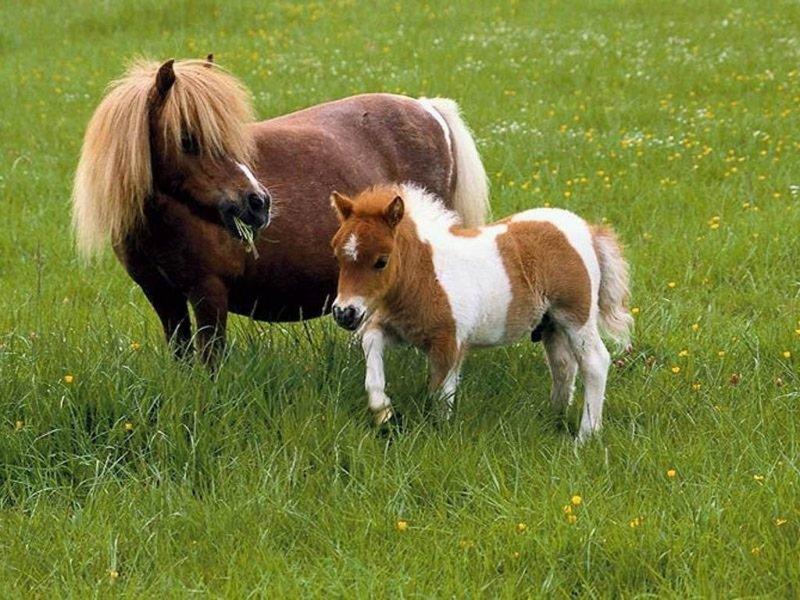 falabella-atları
