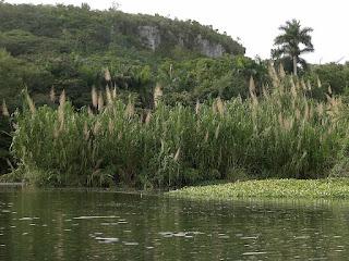 Kuba, Rio Canimar, Naturschutzgebiet La Arboleda, im Vordergrund grünes Wasser, am Ufer mehrere Meter hohes Schilf, im Hintergrund eine Kalkfelswand.