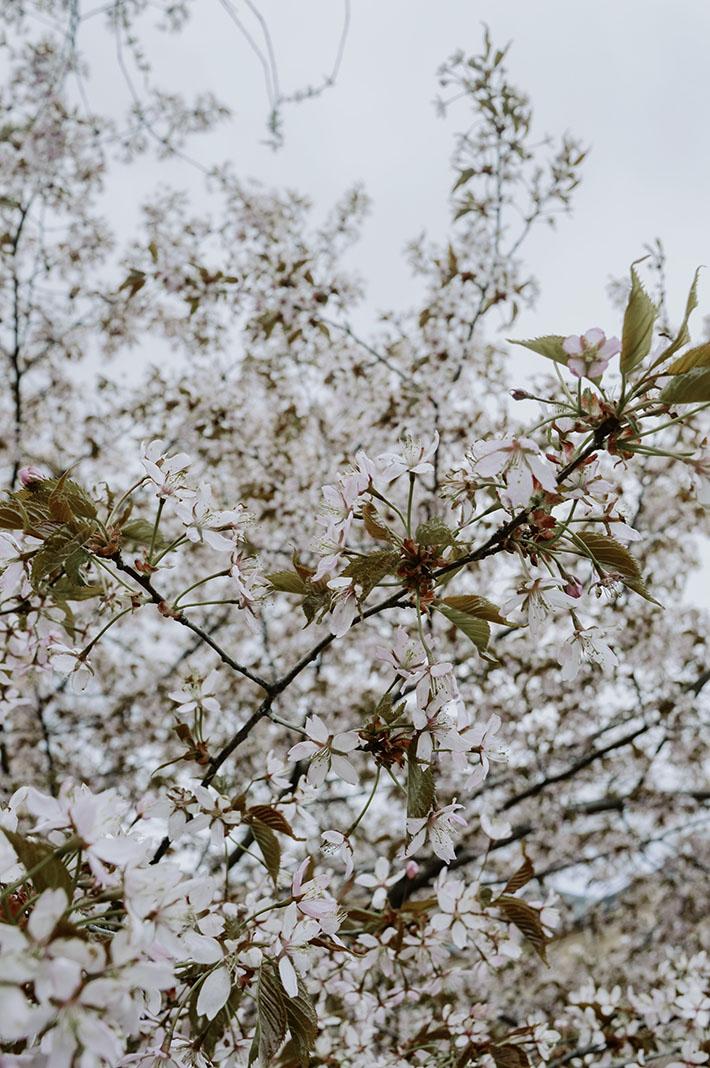 Annan tirpat, kirsikankukat, Tampere