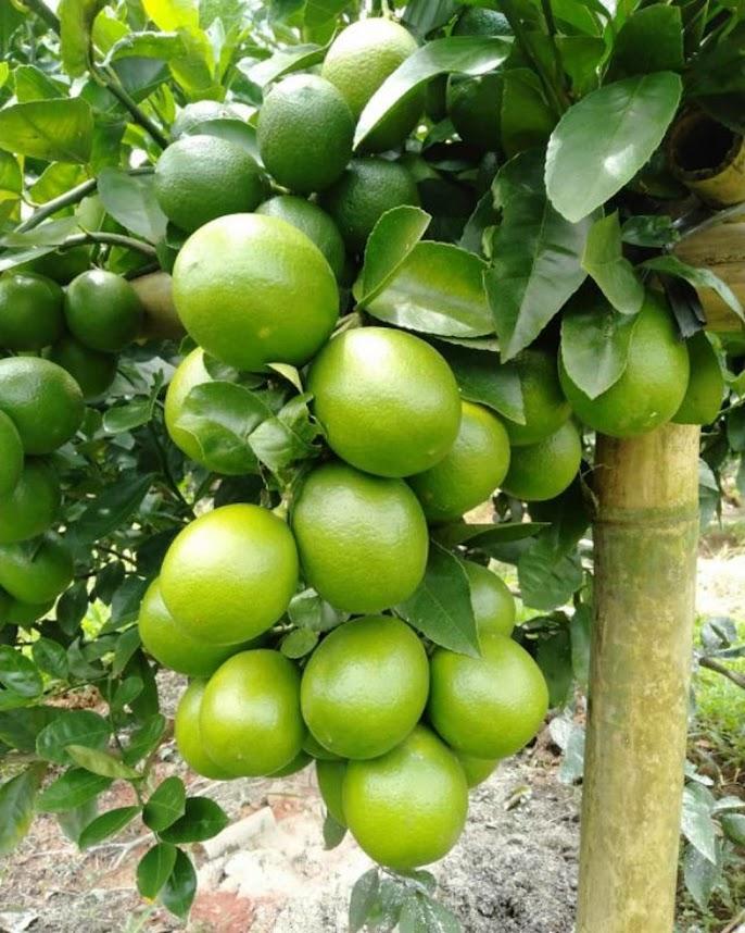 bibit lemon jumbo California okulasi bisa di tabulampot kan Maluku