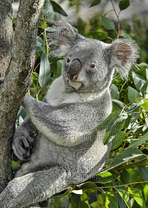 proomic: Koala Food Chain Pictures