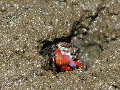 Fiddler Crabs Habitat, Fiddlers Crab House, Where Do Fiddler Crabs Live?