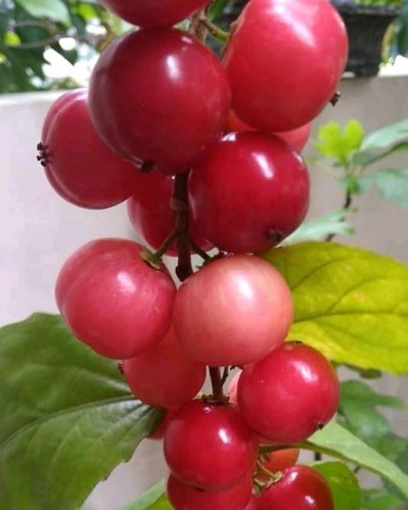 bibit buah lobi lobi Lampung